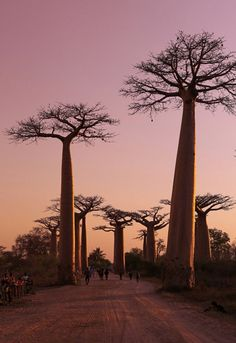 A Forest of Giants Art Cube, Baobab Tree, Commonwealth, Madagascar, Antlers, Jesus Christ, Trees, Sunset, Nature