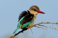 Brown-hooded Kingfisher, Halcyon albiventris, Bruinkopvisvanger - Peet van Schalkwyk