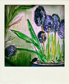 Muscari - in English the common name for the genus is Grape Hyacinth (although they aren't really hyacinths at all) or Baby's Breath. (2013)