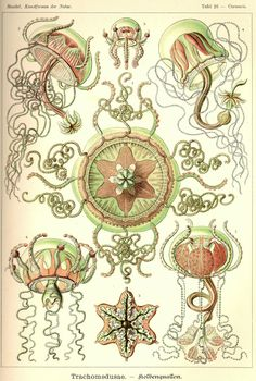 26 - The renowned German scientist Ernst Haeckel (1834-1919) was an early proponent of Darwinism