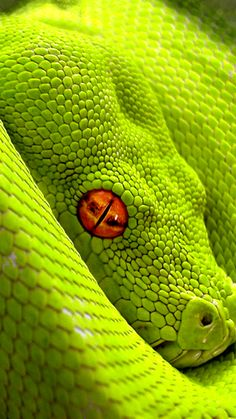 Beautiful green snake with brilliant eye color. I don't like snakes, but this snakes coloring caught my eye...it 's color being outstanding