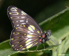 Colombia Butterfly Photos - Whites and Sulphurs Watkins's Dartwhite (Catasticta watkinsi)?  Near Libano, Tolima, Colombia 7/20/2009.