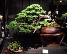 Eric Schikowski Mountain Hemlock Bonsai Photo by Naedoko Bonsai
