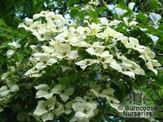 Flowering Dogwood could brighten up the understory of the oaks and act as a link from the garden to the more open wood… just 3 of them maybe...