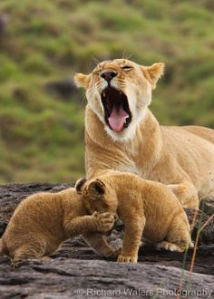 Typical Day In The Wild Big Cats Cool Cats Lion Cub