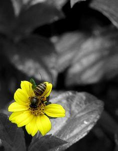 a bee yellow splash Splash Photography, Color Photography, Black And White Photography, Black And White Colour, Black And White Pictures, Color Yellow, Color Splash Photo, Effects Photoshop, Shades Of Yellow