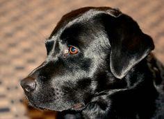 #Black #Labrador #Retriever  Graf Aiko von der hohen Reute