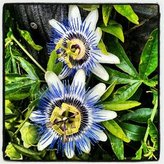 My passion flowers.