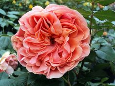 Chippendale ® Strauchrosen aus eigener Produktion in Top Gärtnerqualität - Hier bestellen und preisgünstig liefern lassen ! Shrub Roses, Shrubs, Flowers, Plants, Flowers On Line, Shrub, Plant, Royal Icing Flowers, Flower