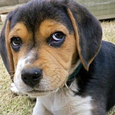 Beagle pup.  The black on his head will turn brown.