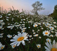 Daisies on the Tarka Trail