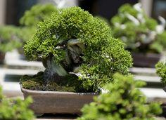 JPB:Bonsai Collection5 | Shohin bonsai tree | Flickr - Photo Sharing!