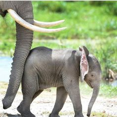 Happy Baby Ella With Mama! Save the Elephants! Elephant Pictures, Elephants Photos, Save The Elephants, Cute Animal Pictures, Elephant Images, Elephant Photography, Animal Photography, Cute Baby Animals, Animals And Pets