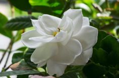 How to take care of the fragrant, but finicky and tricky Gardenia Plant. #gardenia #care #plant