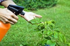 Come preparare e utilizzare un insetticida naturale