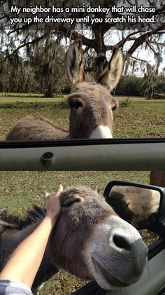This donkey will chase you up the driveway until you scratch his head!