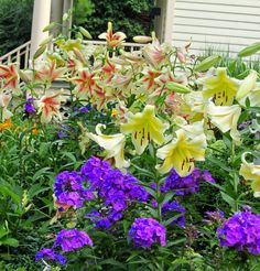 Lilies look best with their feet covered ... Blue Paradise Phlox,
