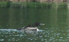 We have loons!
