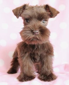 Mini Schnauzer puppy. Love the beard! Is it brown. I've never seen a brown miniature schnauzer before.