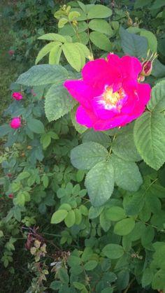 Ruusut aloittelee