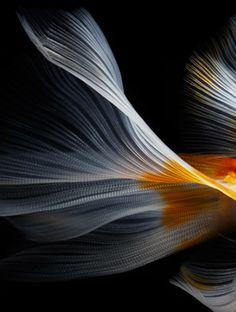 Danse des voiles. / Dance of the veils. / Poisson combattant. / Betta. / By Hiroshi Iwasaki.