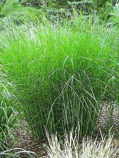www.zahradyart.cz - Fotoalbum - Galerie rostlin - Okrasné trávy