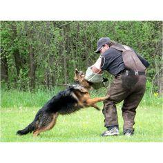 Gucci at Schutzhund training.