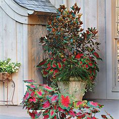 82 Creative Container Gardens | Magnolia, Spider Plant & Caladiums | SouthernLiving.com. Love this small magnolia in the container. -------It is a great basic perennial  for seasonal plug ins to be added according to season, whether annuals or not. -----