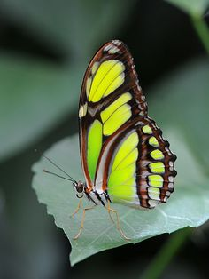 rhamphotheca:      The Scarce Bamboo Page - Philaethria dido is a butterfly of the Nymphalidae family which is found from the Amazon Rainforest up through Mexico. They are often confused with Siproeta stelenes, but can be told apart by their wing shape.      Photograph: Böhringer Friedrich