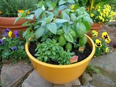 How to Grow Basil from seed (Bonnie Plants)