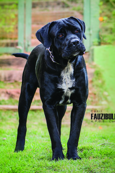The four breeds most commonly called Mastiffs are the English Mastiff, the Neapolitan Mastiff, the Bull Mastiff and the Tibetan Mastiff. Mastiff Puppies, Havanese Dogs, Boxer Dogs, Cane Corso Mastiff, Corso Dog, Baby Puppies, Dogs And Puppies, Doggies, Big Dogs