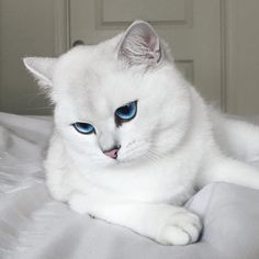 He is a British shorthair, but looks so different from what this breed usually w… Er ist ein Britisch Kurzhaar, sieht aber so anders aus, [. Pretty Cats, Beautiful Cats, Animals Beautiful, Gorgeous Eyes, Crazy Cat Lady, Crazy Cats, Cute Baby Animals, Animals And Pets, Gatos Cool