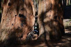 Как проехать сквозь дерево на автомобиле? - http://www.5589997.com/kak-proekhat-skvoz-derevo-na-avtomob/