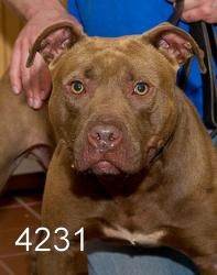 Scotty 4231 is an adoptable American Staffordshire Terrier Dog in Wantagh, NY. Scotty 4231 My name is Scotty and I am a sweet, sensitive dude! While Im personable with everyone, my personality really ...