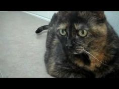 Kelli the cat is 19 pounds of love! Do you think she's the cat for you?