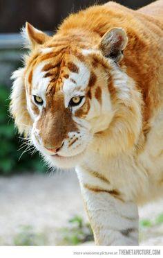Tigre dourado (www.themetapicture.com)