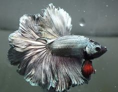 live Tropical Fish-Copper red rosetail halfmoon betta B29