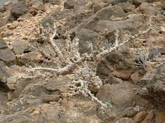 Corallocarpus glomeruliflorus