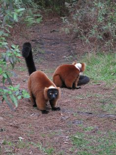 Tails & Trails From Myakka City: Posts from our volunteers… | lemur conservation foundation