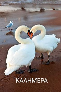 Swan Love, Beautiful Swan, Beautiful Birds, Animals Beautiful, Nature Animals, Animals And Pets, Cute Animals, Pretty Birds, Love Birds