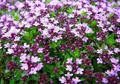 Thyme is a popular aromatic and culinary herb that is a native of the Mediterranean. Growing thyme is fairly easy once you know the environment it prefers. Creeping Thyme, Creeping Phlox, Flower Seeds, Flower Pots, Thymus Serpyllum, The Tiny Seed, Ground Cover Plants, Cold Frame, Hardy Perennials