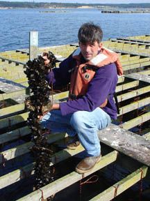 Farm Manager Tim Jones with a harvest size mussel line. Penn Cove Mussels, Inc. Washington State.