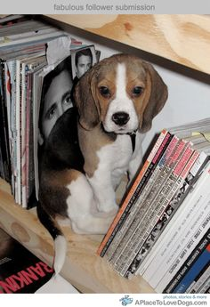 beagle on a bookshelf! What a cutie