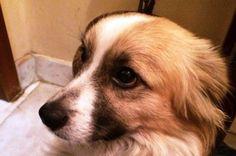 Rocky geboren 2013 is een ontzettend lief en aanhankelijk hondje. Hij is echt gek op knuffelen! Hij begint al behoorlijk speels te worden en wil enorm graag buiten rennen en springen. Rocky vindt katten erg leuk maar vooral om op te jagen. We plaatsen hem  liever bij wat grotere kinderen. Rocky vindt het wel ontzettend gezellig met andere hondjes als hij even de tijd krijgt om aan ze te wennen. Rocky kan nog niet zo goed alleen zijn. Klik op de foto voor meer info.
