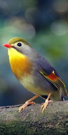 About Wild Animals: Red-billed leiothrix Birds In The Sky, Small Birds, Colorful Birds, Pretty Birds, Beautiful Birds, Animals Beautiful, Rare Birds, Exotic Birds, Animals And Pets