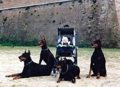 The Doberman Pinscher is among the most popular breed of dogs in the world. Known for its intelligence and loyalty, the Pinscher is both a police- favorite bree Perro Doberman Pinscher, Animals Beautiful, Cute Animals, Doberman Love, Mans Best Friend, Stuffed Animals, Dog Love, Dog Training, Best Dogs