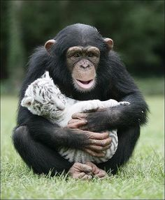 Mom chimp adopts white tiger cubs in Africa after they are separated from their mother.