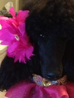 Allie. Standard poodles are the best!  photo by smakcabral, via Flickr