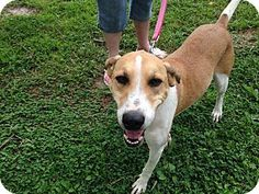 Hampton, VA - Hound (Unknown Type) Mix. Meet Honey Bee, a dog for adoption. http://www.adoptapet.com/pet/11341966-hampton-virginia-hound-unknown-type-mix
