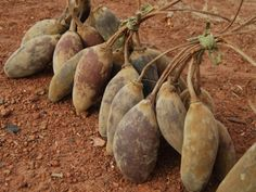 #Bouye AKA #baobab pulp sold on the roads. Be careful while handling these bark. they are itchy :) #SenegaleseTaste